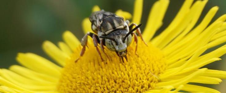 Pollinisateur - DR